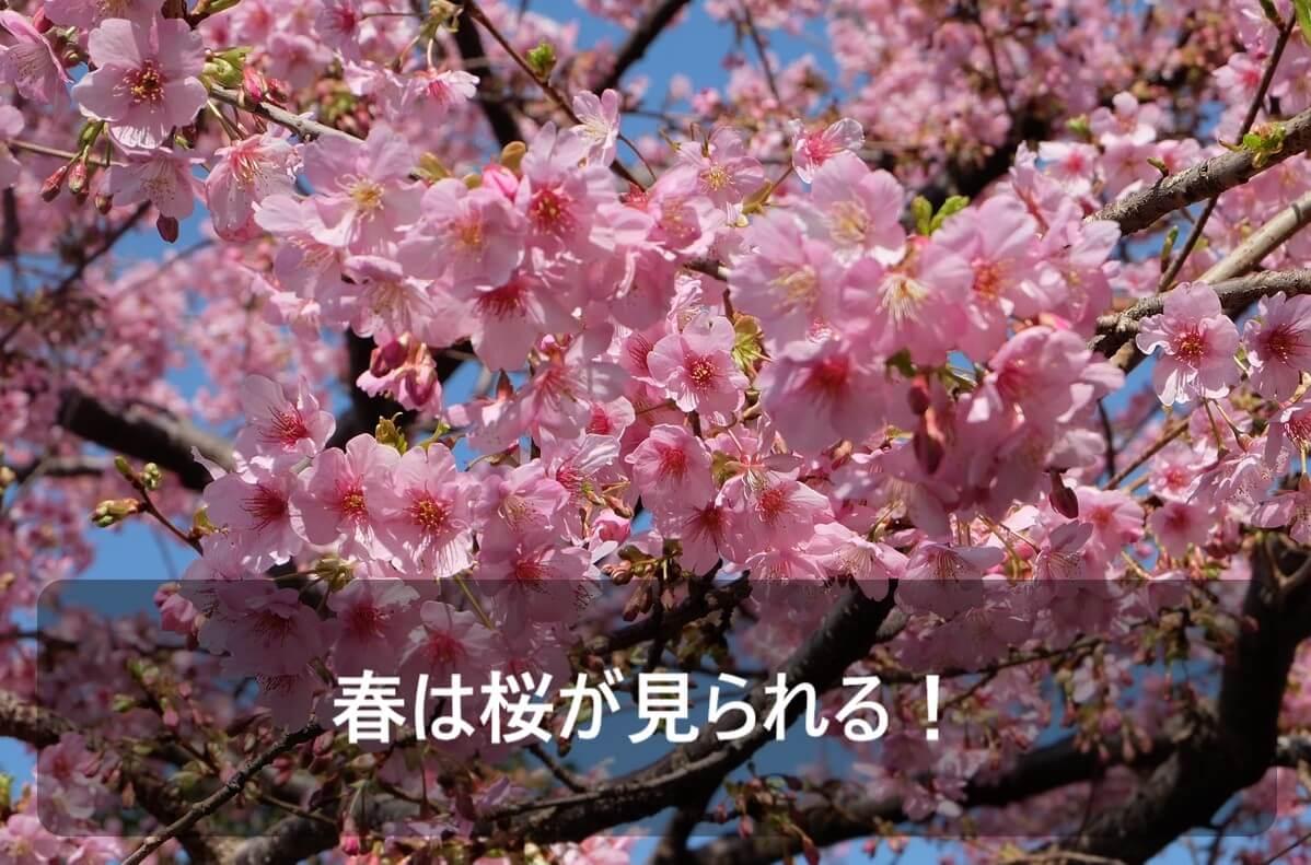春にグランピングするメリットとして春は桜が見られることを示した画像